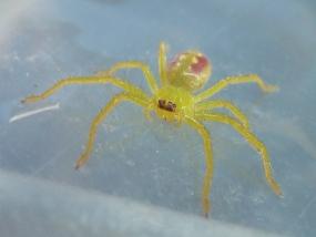 Sparassidae 1