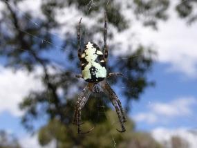 Spider 68
