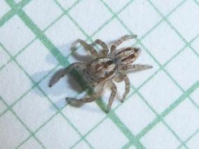 Salticidae sp 5