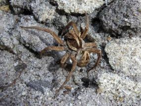 Spider 73