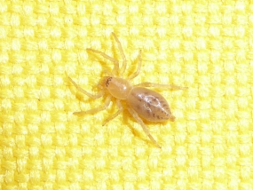 Clubionidae sp 2