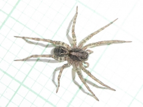 Spider 76