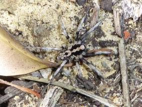 Spider 77