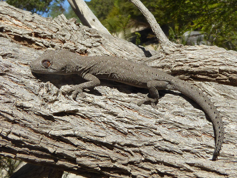 South-western Spiny-tailed Gecko