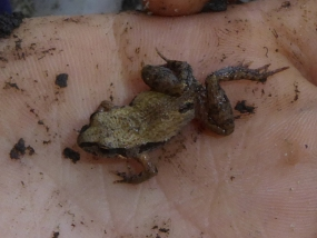 Squelching Froglet