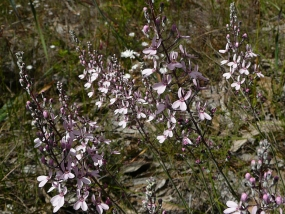 Stylidium neurophyllum