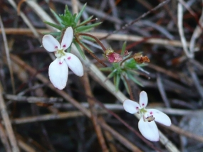 Stylidium repens