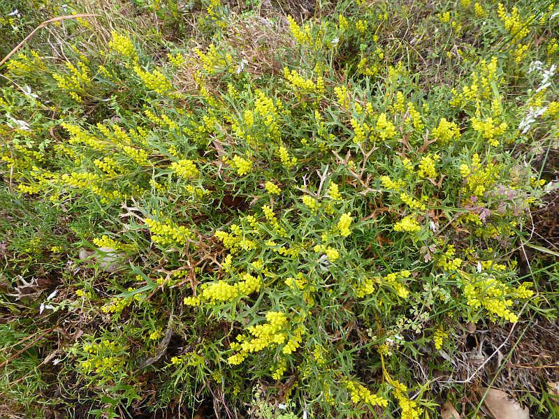 Synaphea spinulosa