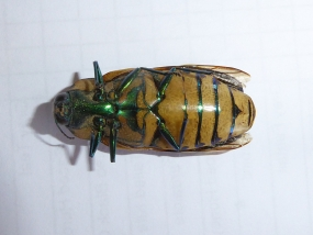 Temognatha conspicillata