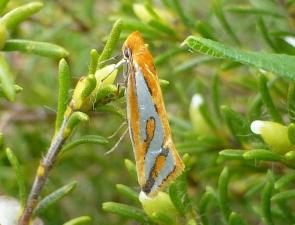 Thudaca haplonota