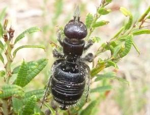 Thynnidae 2 female