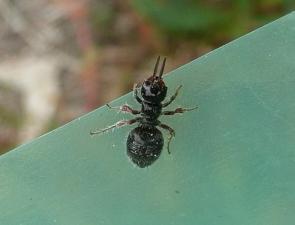 Rhytidothynnus sp