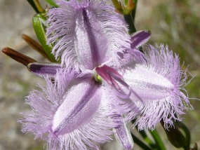Thysanotus arbuscula; Fringed Lily