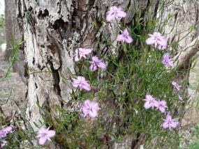 Thysanotus manglesianus; Fringed Lily