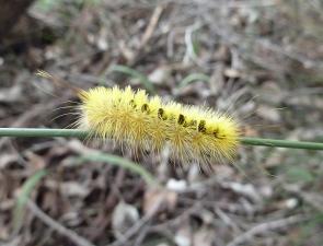 Trichiocercus sparshalli