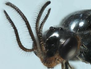Trichorhachus sp 1