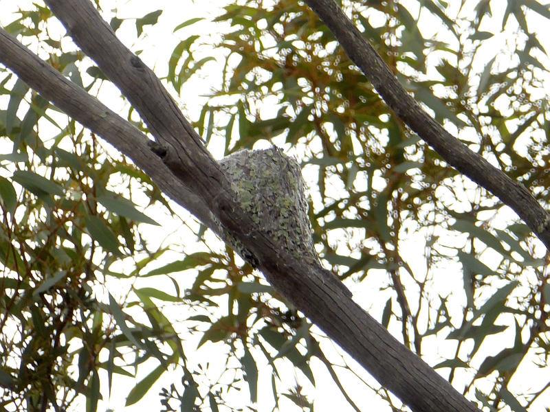 Varied Sittella nest