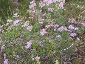 Verticordia densiflora