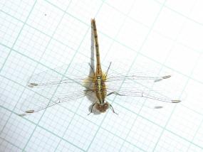Diplacodes bipunctata, Wandering Percher