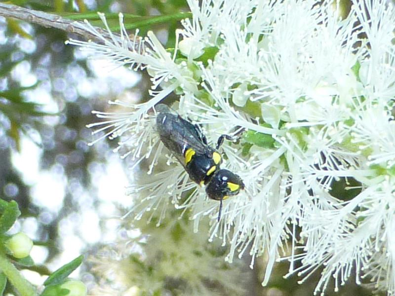 Hylaeus (Euprosopoides) ruficeps kalamundae