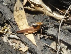 Sphex fumipennis