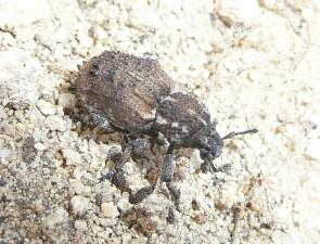 Cubicorhynchus sp