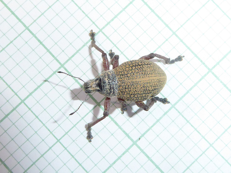 Red-legged Weevil, Catasarcus impressipennis