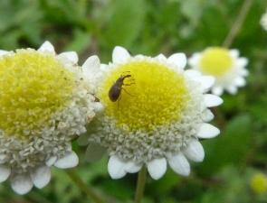 Weevil 3