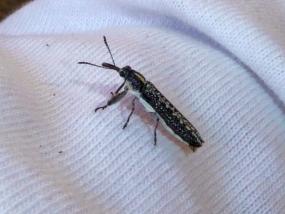 Weevil 4