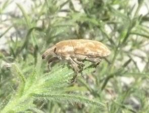 Weevil 6