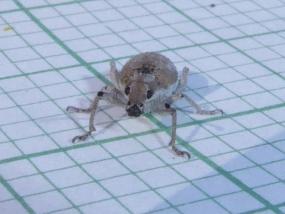 Weevil 8