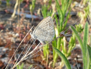 Common Grass-blue, Zizina otis labradus