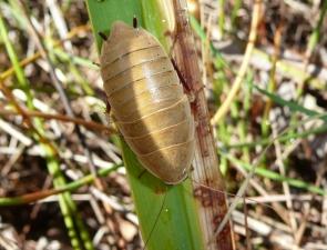 Zonioploca bicolor